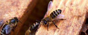 How Do Illegal Crop Control Measures Affect Bees?